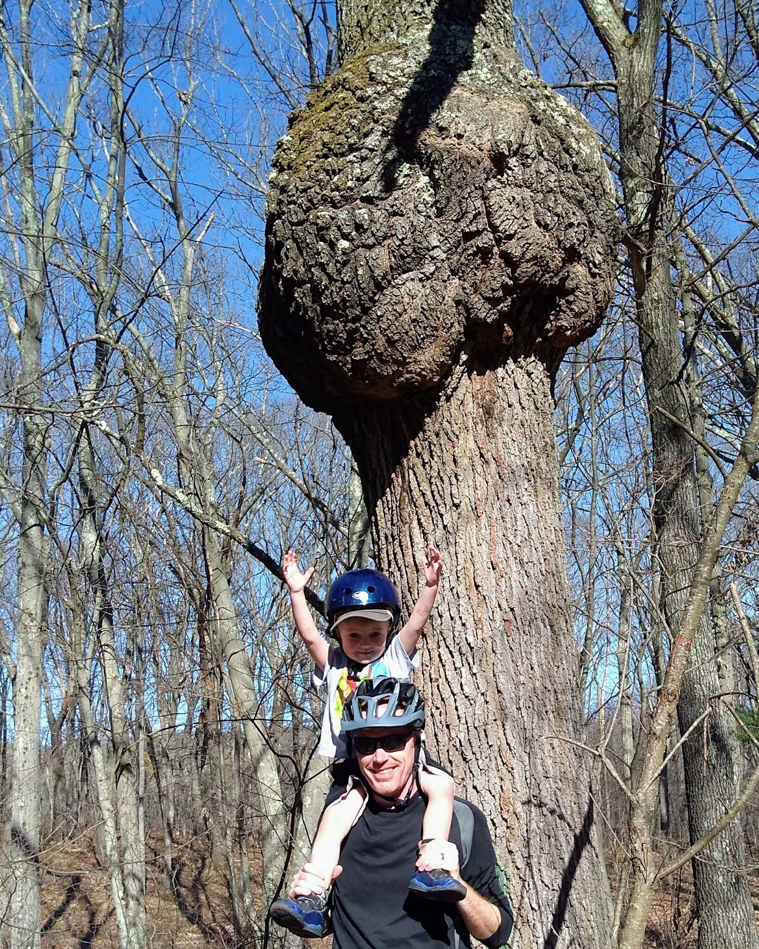 Big Oak Burl in Belmont, MA